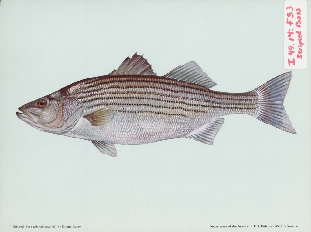 Color print of a striped bass fish. Covered in shimmery scales of brown, blue and pearl, it sits in front of a pale blue background with a sticker label reading I 49.14.F53 striped bass.